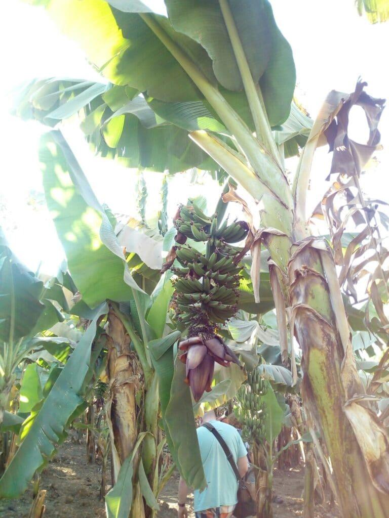 tak tak rastu banany